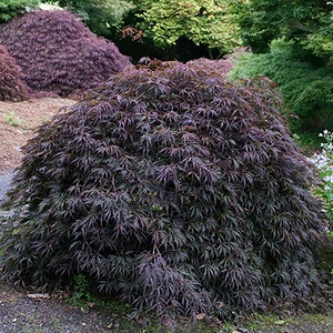 Japanese Maples Sacred Space Garden Design Inc