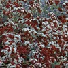 Eriogonum fasciculaturm 'Foliolosum'_Fall Color