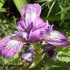 Iris douglasiana - flower