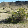Isomeris arborea