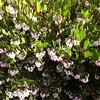 Arctostaphylos densiflora 'Howard McMinn' - flower