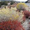 Eriogonum fasciculaturm 'Foliolosum'