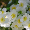 Carpenteria californica - flower