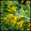 Isomeris arborea - FLOWERS