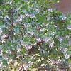 arctostaphylos-sunset-manzanita-flowers
