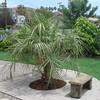 Butia capitata 'Pindo Palm'