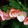 Abutilon 'Pink'