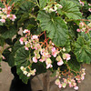 Begonia 'Julie Vanderwilt'
