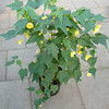 Abutilon 'Yellow'