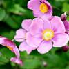 Anemone x hybrida 'September Charm' - flower