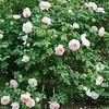 'Sharifa Asma' English rose