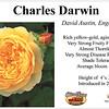'Charles Darwin' English rose