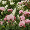 pink-and-white-iceberg-roses