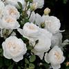 Glamis Castle flower