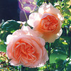 'Ambridge'  English rose