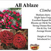 'All Ablaze' English climbing rose