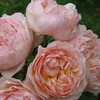 'Evelyn' English rose