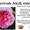 Gertrude Jekyll-staked