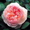 'Sharifa Asma' English rose