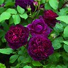 'Munstead Wood'  English rose