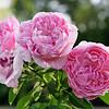 'Mary' English rose