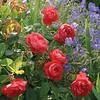 'Benjamin Britten' English rose Climber