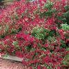 Salvia hybrid