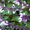 Salvia 'Waverly' - flower