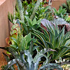 Mixed Agaves