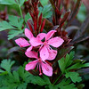 Gaura lindheimeria - flower