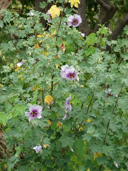 Lavatera bicolor