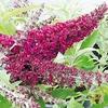 Buddleja 'Buzz' (dwarf) - flower
