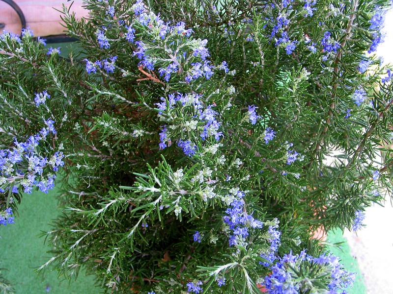 Picture of Live Rosemary (dwarf) aka Rosmarinus off. 'Roman Beauty' Plant Fit 1 Gallon Pot
