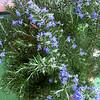Rosmarinus officinalis 'Roman Beauty'