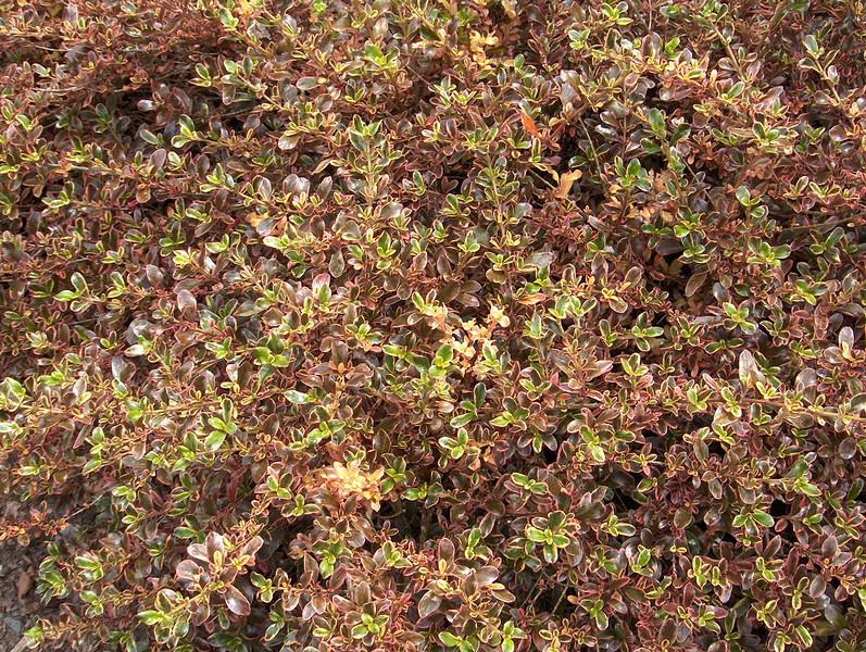 Coprosma 'Rainbow Surprise' - foliage