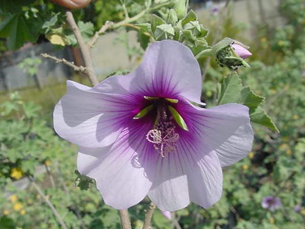 Lavatera bicolor - flower