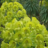Euphorbia - flower