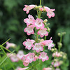 Penstemon 'Apple Blossom' - flower