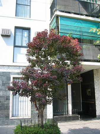 Euphorbia cotinifolia - tree form