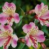 Alstroemeria ssp.