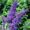 Buddleja davidii - flower