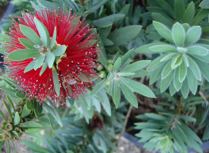 Callistemon 'Little John' - flower