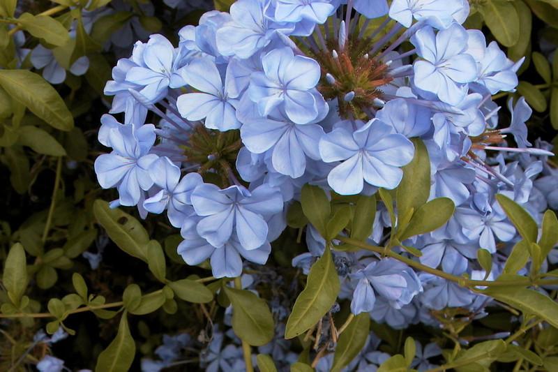 Plumbago auriculata - flower