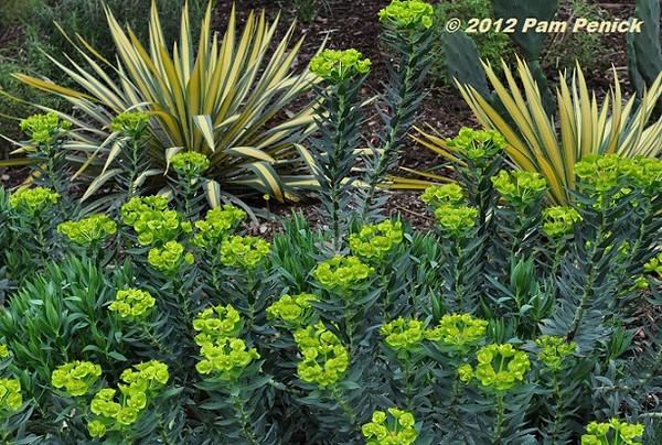 Euphorbia ssp.