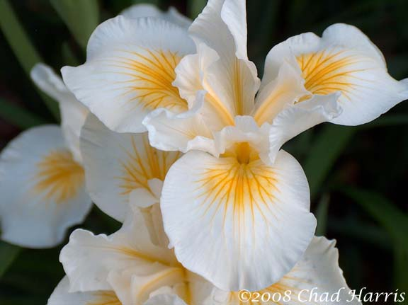 Iris 'Snow Canyon'