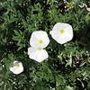 Convolvulus cneorum - flower