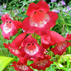 Penstemon ssp.