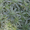 Echium candicans 'Star of Madeira' - foliage