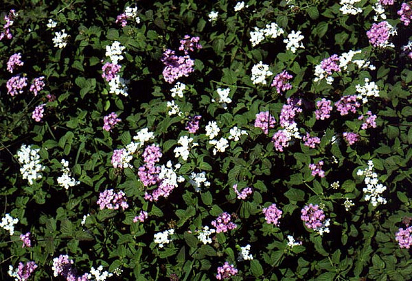 Lantana montevidensis (white & purple mix)