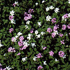 Lantana montevidensis (white & purple mix)